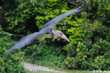 Marabou stork DSC_2854