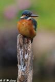 Common Kingfisher DSC_5709