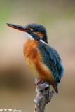 Common Kingfisher DSC_5893