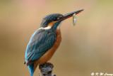 Common Kingfisher DSC_6172