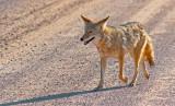 Bosque Coyote 72591