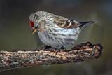 Common Redpoll 24392