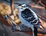 Hairy Woodpecker 24458
