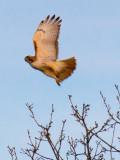 Red-tailed Hawk Taking Flight 07445