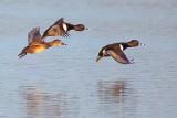 Ducks In Flight 24676A