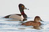 Ring-necked Ducks 24679A