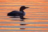 Loon At Sunset 24574