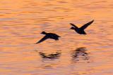 Ducks In Flight Silhouettes 20110422