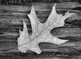 Leftover Leaf DSCF01291bw