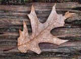 Leftover Leaf DSCF01291