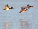Ducks In Flight 24676