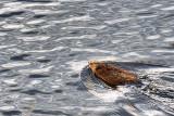Swimming Muskrat 09375