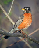 Perched Robin 25019