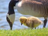 Goose & Gosling 20110512