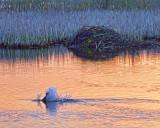 Beaver Tail Slap 20110513