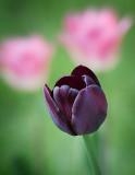 Three Tulips 20110514