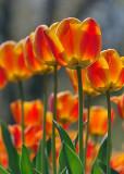 Backlit Orange Tulips 09726