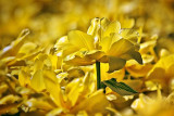 Yellow Tulips 25214