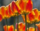 Backlit Orange Tulips 09726A