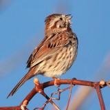 Singing Sparrow 20110515