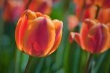 Red & Orange Tulip 25155