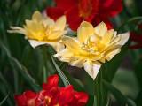 Four Tulips 25181