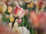 Cream & Red Tulip 25185