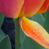 Wet Tulip Petal DSCF01685