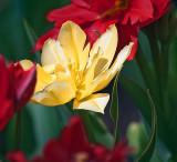 Yellow Tulip 25180
