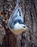 White-breasted Nuthatch 25142