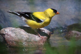 American Goldfinch 25442