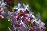 Lilac Closeup 25369