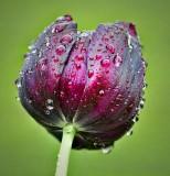 Wet Tulip 20110527