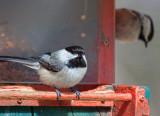 Chickadees On A Feeder 24774