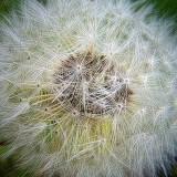 Gone To Seed DSCF01815