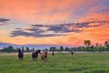 Friendly Horses At Sunrise 10254