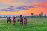 Friendly Horses At Sunrise 20110530