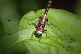 Dragonfly On A Leaf 20110605
