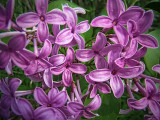 Lilac Closeup DSCF01817