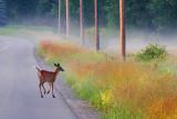 Deer On The Road 20110618