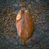 Sunset Bullfrog 12325