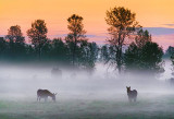Donkeys In Misty Sunrise 13530-2