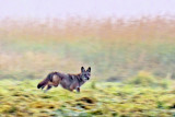 Coyote On The Run 20110816