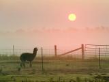 Alpaca Watching The Sunrise 15067