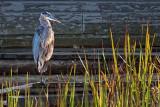 Heron Beside Boathouse 20111003