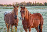 Two Friendly Horses 20111006