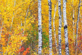Autumn Birches 20111010