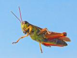 Grasshopper 17526