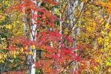 Autumn Leaves 17727