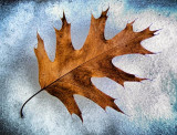 Oak Leaf On Ice 20111125
